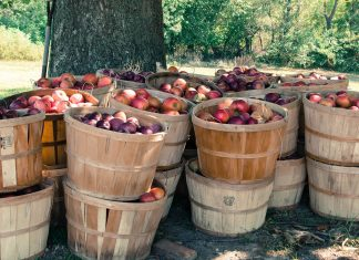 sadownictwo jabłka