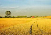 rolnictwo zboże