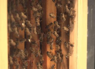 Innowacyjne technologie pomogą uratować pszczoły. Będą monitorować ule i stan zdrowia owadów, zapobiegną też kradzieżom i usprawnią hodowle