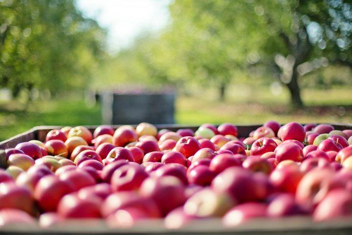 jabłka sad rolnictwo