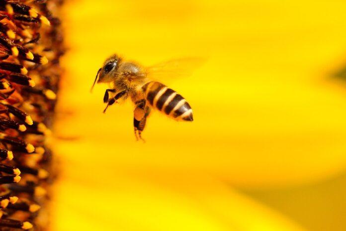 przczoła